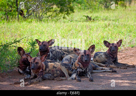 African wild dog, African hunting dog, Cape hunting dog, Painted dog, Painted wolf, Painted hunting dog, Spotted - Stock Photo