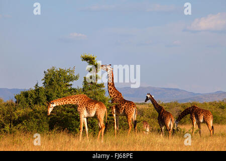 Masai giraffe (Giraffa camelopardalis tippelskirchi), group feeding in the savannah, Kenya, Masai Mara National - Stock Photo