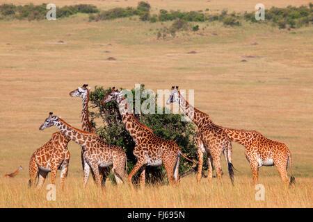 Masai giraffe (Giraffa camelopardalis tippelskirchi), herd feeds leaves of a tree, Kenya, Masai Mara National Park - Stock Photo