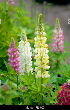 bigleaf lupine, many-leaved lupine, garden lupin (Lupinus polyphyllus), blooming in differenz colours, Germany - Stock Photo