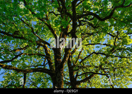 sycamore maple, great maple (Acer pseudoplatanus), view into the tree top, Switzerland Stock Photo