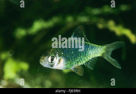 Sumatra barb, Tiger barb (Puntigrus tetrazona, Puntius tetrazona, Barbus tetrazona, Capoeta tetrazona), swimming - Stock Photo