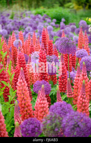 bigleaf lupine, many-leaved lupine, garden lupin (Lupinus polyphyllus), blooming in differenz colours, together - Stock Photo