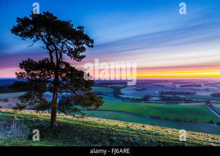 A lone Scots Pine (Pinus sylvestris) against a winter sunrise sky. - Stock Photo