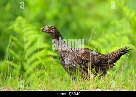 blue grouse (Dendragapus obscurus), female stands at roadside, Canada, British Columbia, Vancouver - Stock Photo