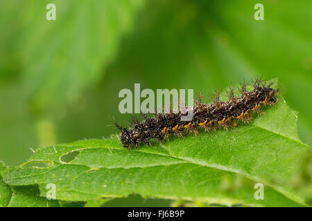 map butterfly (Araschnia levana), caterpillar on a nettle leaf, Germany - Stock Photo