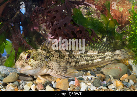 Shanny (Lipophrys pholis, Lipophris pholis, Blennius pholis) - Stock Photo