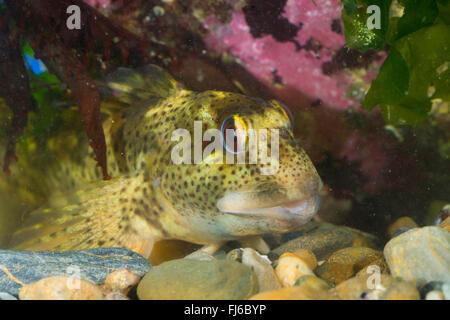 Shanny (Lipophrys pholis, Lipophris pholis, Blennius pholis), portait - Stock Photo