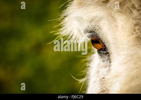 close-up of donkey's eye - Stock Photo