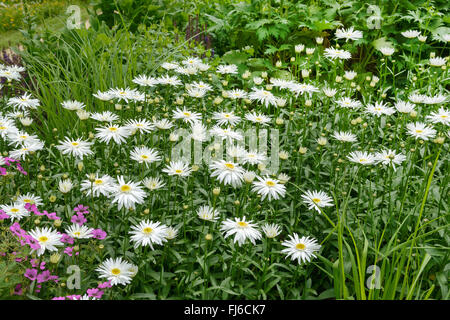 shasta daisy, ox-eye daisy (Leucanthemum superbum 'Christine Hagemann', Leucanthemum superbum Christine Hagemann), - Stock Photo