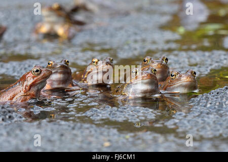 common frog, grass frog (Rana temporaria), sitting in water with eggs, Austria, Burgenland, Neusiedler See National - Stock Photo