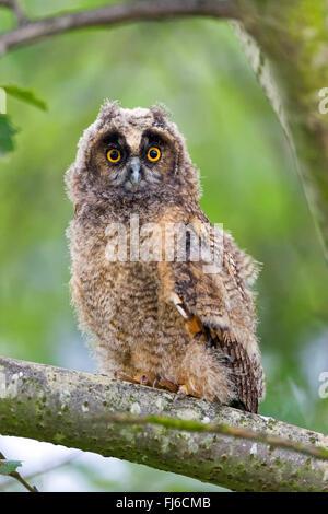 long-eared owl (Asio otus), sitting on a branch staring, Austria, Burgenland - Stock Photo
