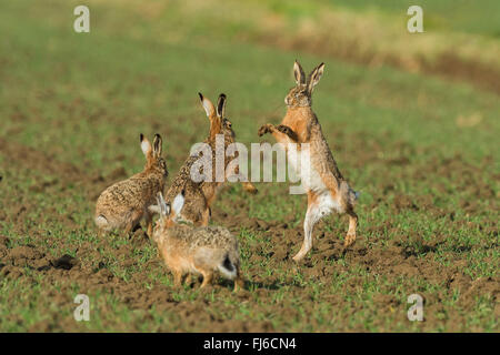 European hare, Brown hare (Lepus europaeus), males in fight during the mating season, Austria, Burgenland - Stock Photo