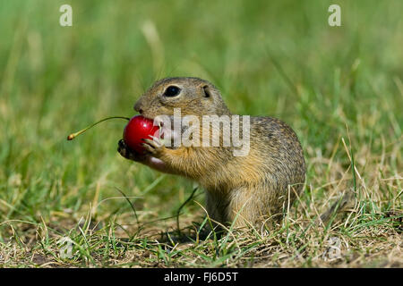 European ground squirrel, European suslik, European souslik (Citellus citellus, Spermophilus citellus), feeding - Stock Photo