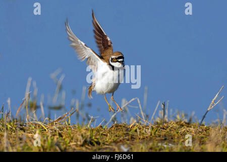 little ringed plover (Charadrius dubius), landing, Austria, Burgenland, Neusiedler See National Park - Stock Photo
