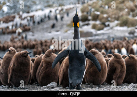 King Penguin (Aptenodytes patagonicus) adult with chicks Right Whale Bay, South Georgia - Stock Photo