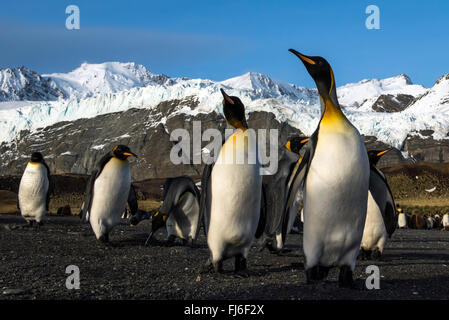 King Penguin (Aptenodytes patagonicus) adults on the beach Gold Harbour, South Georgia - Stock Photo