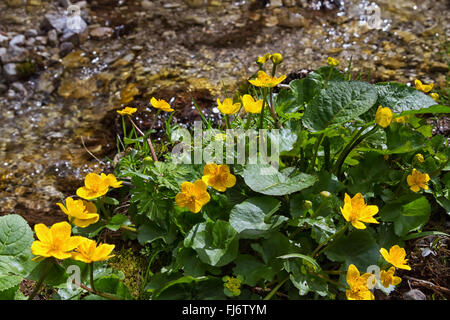 Marsh Marigold flowers (Caltha palustris) is an sign of spring - Stock Photo