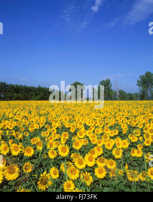 Field of sunflowers, Alpes-Maritimes, Provence-Alpes-Côte d'Azur, France - Stock Photo