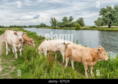 Cattle graze on a meadow in the Fens at the River Great Ouse, also known as the Fenland, near Ely, Cambridgeshire, - Stock Photo