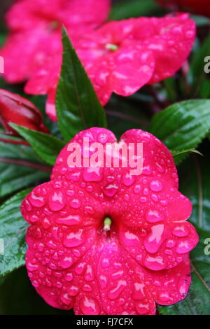 Water droplets on dark pink impatiens flowers - Stock Photo