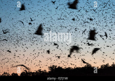 Motion blur of Little Red Flying-fox (Pteropus scapulatus) flying out of their roost after sunset to forage in the - Stock Photo