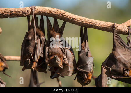 Little Red Flying-fox (Pteropus scapulatus) foxes roosting on inland white mahogany, Eucalyptus trees and easily - Stock Photo
