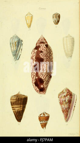 The conchological illustrations or, Coloured figures of all the hitherto unfigured recent shells - Stock Photo