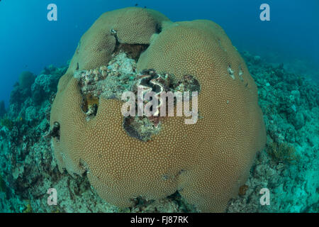 Few struggling healthy massive corals (Diploastra sp.) trying to stay alive surrounded by algae covered corals. - Stock Photo