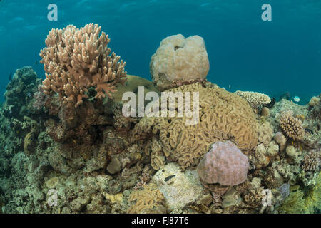 Few struggling healthy massive corals trying to stay alive surrounded by algae covered corals. This sad Great Barrier - Stock Photo