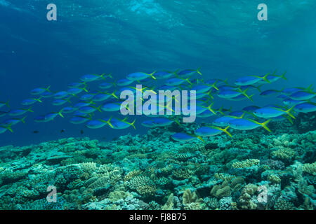 Schools of blue and yellow fusiliers (Caesio teres) roam the edge of the outer Great Barrier Reef feeding on passing - Stock Photo