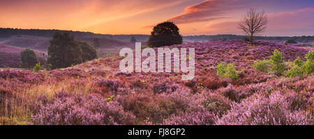 Endless hills with blooming heather at dawn. Photographed at the Posbank in The Netherlands. - Stock Photo