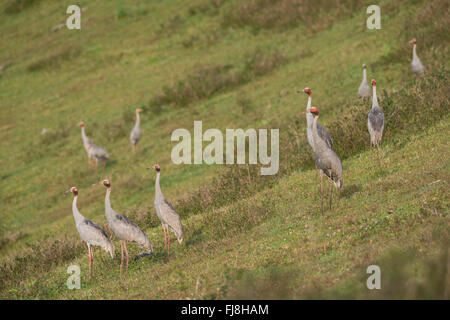 Sarus Cranes ready to fly off in the morning from Bromfield Swamp. Australia has two cranes, the Brolga Grus rubicunda - Stock Photo