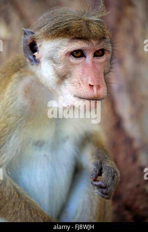 Red Monkey, adult portrait, Yala Nationalpark, Sri Lanka, Asia / (Macaca sinica) - Stock Photo