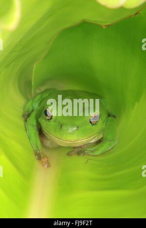 An Australian Green Tree Frog sitting inside a large broad green leaf.