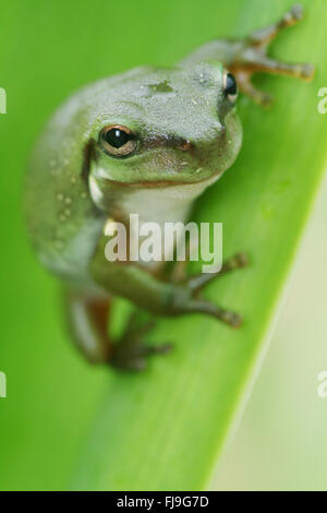 An Australian Green Tree Frog - juvenile - Litoria caerulea - sitting on a long broad green leaf. - Stock Photo