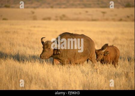African Buffalo (Syncerus caffer) female walking through dry grassland, with calf following, Lewa Wildlife Conservancy, - Stock Photo