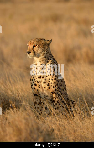 Cheetah (Acinonyx jubatus) adult sat up in long dry grass, looking for prey, Lewa Wildlife Conservancy, Kenya, October - Stock Photo