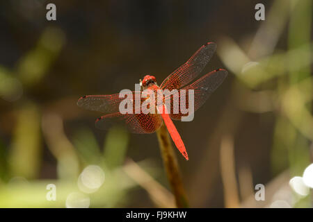 Broad Scarlet Dragonfly (Crocothemis erythraea, Mathews Mountains, Kenya, October - Stock Photo