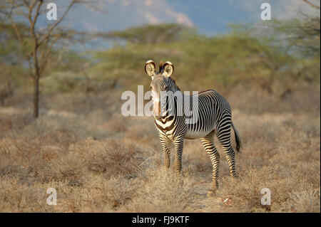 Grevy's Zebra (Equus grevyi) single adult standing in dry scubland, Shaba National Reserve, Kenya, October - Stock Photo