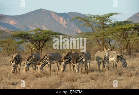 Grevy's Zebra (Equus grevyi) small group grazing in dry scubland, Shaba National Reserve, Kenya, October - Stock Photo