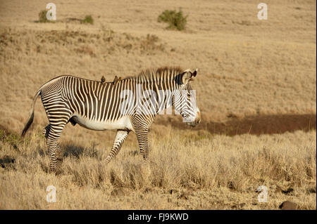 Grevy's Zebra (Equus grevyi) lone stallion walking through long dry grass, red-billed oxpeckers on back, Lewa Wildlife - Stock Photo