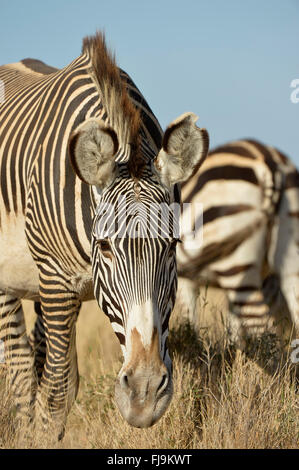 Grevy's Zebra (Equus grevyi) adult grazing, Lewa Wildlife Conservancy, Kenya, October - Stock Photo