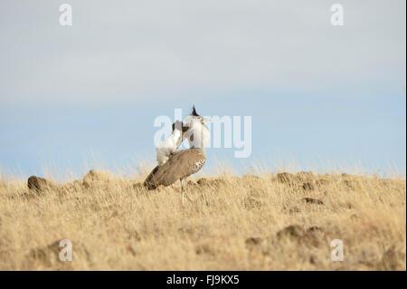 Kori Bustard (Ardeotis kori) adult male displaying, Lewa Wildlife Reserve, Kenya, October - Stock Photo