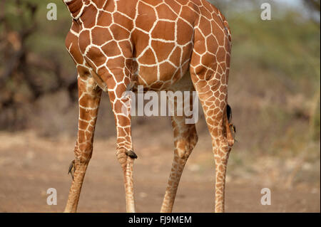 Reticulated Giraffe (Giraffa camelopardalis reticulata) close-up of legs, with red-billed oxpeckers, Shaba National - Stock Photo