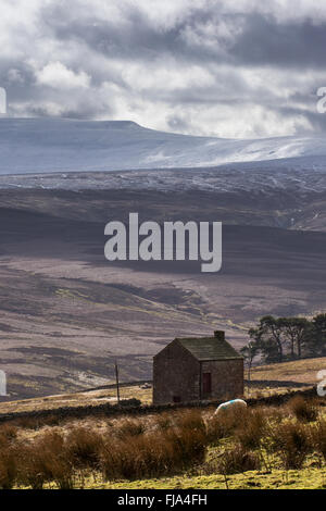 Grazing sheep and a traditional North Pennine field barn with the snow covered slopes of Crossfell in the background - Stock Photo