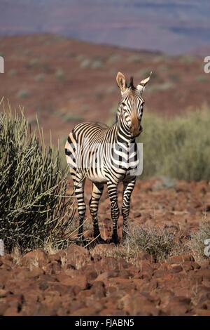 Zebra in the Palmwag concession. - Stock Photo
