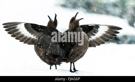 Two Brown skuas (Stercorarius antarcticus) showing aggressive display on snow Cuverville Island Antarctic Peninsula - Stock Photo