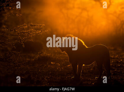 Adult male lion (Panthera leo) at dawn Mara Naboisho conservancy Kenya Africa - Stock Photo
