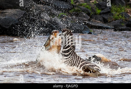 Nile crocodile (Crocodylus niloticus) taking on adult zebra Masai Mara National Reserve Kenya Africa - Stock Photo